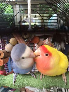 Apple en Kwetter Love Birds Pet, Cute Birds, Pretty Birds, Small Birds, Animals And Pets, Baby Animals, Funny Animals, Cute Animals, Most Beautiful Horses