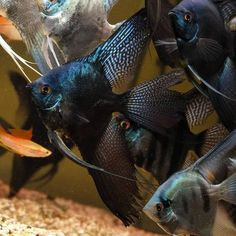 Aquarium Care for Freshwater Fish Freshwater fish are perhaps the easiest fish to care for in comparison to saltwater species because they are usually hardier Saltwater Aquarium Fish, Tropical Fish Aquarium, Saltwater Tank, Discus Aquarium, Tropical Freshwater Fish, Freshwater Aquarium Fish, Angel Fish Tank, Discus Fish, Pet Fish