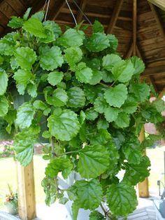 Mi pequeño jardín: Ficha de Plectranthus australis (planta del dinero) y cuidados