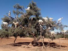 argan tree and goats / Morocco -