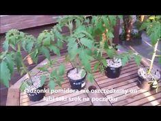 Rozsada pomidora /od nasionka do gotowej sadzonki Garden, Youtube, Plants, Sad, Balcony, Garten, Lawn And Garden, Gardens, Plant