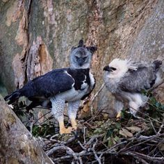 Águila Harpia, Harpy Eagle. Harpia Harpyja. #acciptridae #falconiformes  #bird #ave #birdingphotography #birds #animal #nature  #birdwatching #birding #wildlife #mothersday #aguila #harpy #harpia