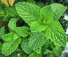 There is nothing like the fresh scent of mint. The foliage not only smells fantastic, but it also looks great in your garden or in pots on your porch or deck. If you love the smell and flavor of fresh mint, that should be reason alone to grow it. Natural Mosquito Repellant, Mosquito Repelling Plants, Growing Mint, Growing Herbs, Comment Planter, Mint Plants, Types Of Herbs, Marijuana Plants, Medicinal Herbs