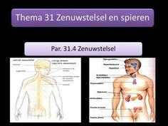 Thema 6 Regeling en waarneming B. Stof 3 Zenuwstelsel Par. 31.2 Zenuwcellen en 31.4 Zenuwstelsel. -  ppt download