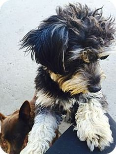Corona, CA - Yorkie, Yorkshire Terrier/Australian Terrier Mix. Meet Gorgeous Yorkie Terrier Son, a dog for adoption. http://www.adoptapet.com/pet/12576432-corona-california-yorkie-yorkshire-terrier-mix