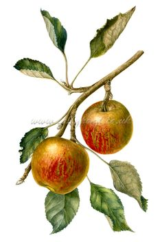 botanical illustration of two cox apples hanging from a branch