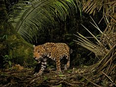 Camera trap photo of a jaguar in Ecuador's Yasuni National Park