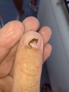 Baby seahorse on a marine biologist :)