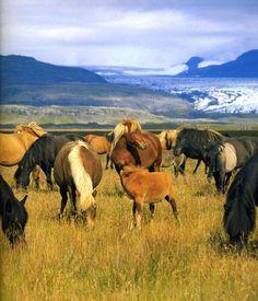 Herde von Islandpferden aus Island