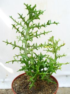 Euphorbia stenoclada Baill.