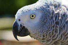 Afbeeldingsresultaat voor grijze roodstaart papegaai