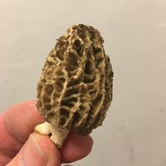 Wild Morel — Foraged from the forest floor. See ya when I see ya.