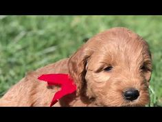 6 kws old Mini Goldendoodle Puppies For Sale In Idaho | doodles4love.com