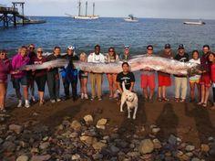 Régalec ou roi des harengs trouvé au large de San Francisco