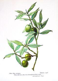 olive plant illustration - Google Search