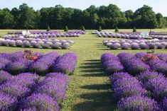 One of them had grown up in France and a small idea about growing lavender turned into planting more than plants - with plans for more. Lavender Garden, Lavender Fields, Lavender Plants, Roses Garden, Lavender Blue, Fruit Garden, Cherry Farm, Door County Wisconsin, Growing Lavender