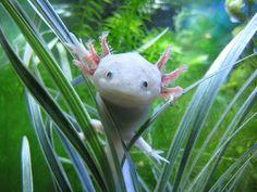 Axolotl.. So cute. Yes, they exist!