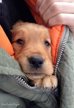 keeping warm! This so looks like Fletcher the day he came home to us. The breeder told us you can tell how dark Golden they will turn by looking at the color of their ears when they are a puppy. She was right. G.S.