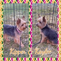 Please welcome Kipper and Kaylee they are sisters from the same litter who were released from their breeder. They are 3 years old and 4.5 lbs #YorkshireTerriers, they love to play with each other and are working on potty training as they have spent most of their lives in cages. We would like for them to find a home together. http://www.doggielife.com/FRHNZ4