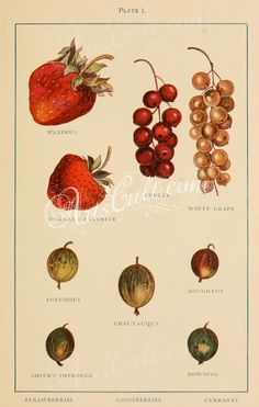 Strawberry, Currant, Gooseberry      ...