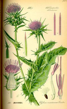 Silybum marianum. Flora von Deutschland Österreich und der Schweiz (1885)