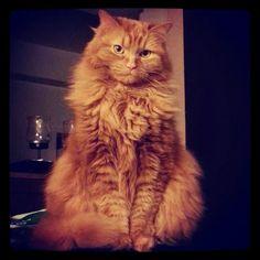 Nova long haired orange cat