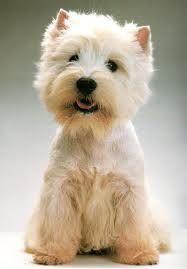 westie, looooove it so much, my favorite dog