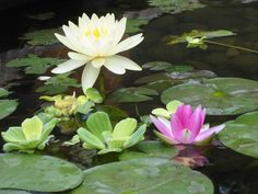 water lilies - Google Search