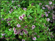 nice Herb: Oregano (Sogn Jord, Hagebruksskule, Aurland) / http://www.everydaygardening.net/herb-oregano-sogn-jord-hagebruksskule-aurland/