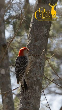 Red-bellied woodpecker on the edge of the food plots. It is amazing the variety of animals and insects you can see around the Vita Rack Clover food plots. #livetohunt_hs #hsstrut #huntersspecialties #oakcreekwhitetailranch #foodplots #birds #birdwatching #woodpecker