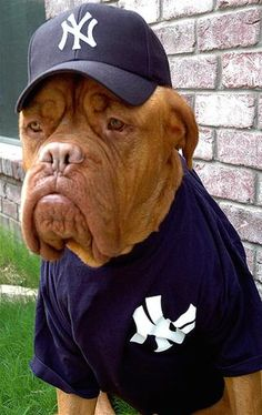 Image detail for -Funny pic of a dog in a Yankee's hat and uniform