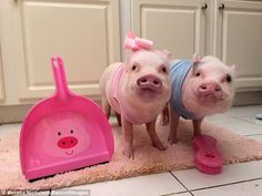 They are surrounded by pig paraphernalia - including this dustpan and brush