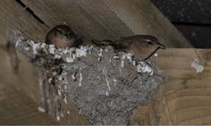 Adult wrens using the unused swallows nest in the winter to sleep and stay warm