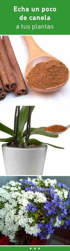 Canelaun poco de canela a tus plantas en esta parte y será el inicio de una planta feliz