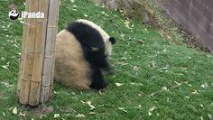 Pandas! (🐼) - Comunidade - Google+
