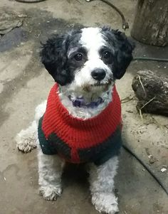 My 9 month old Cavachon Izzy Cavachon, 9 Month Olds, I 9, Dogs, Animals, Animales, Animaux, Pet Dogs, Doggies