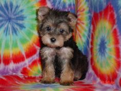 This is the dog I want!! It is a Schnorkie (part Schnauzer, part yorkie). They are hypoallergenic (cause I am WAY allergic to dogs), and have a good temperament. Aren't they SOOOO cute? Ah, someday!