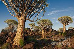 Quiver tree forest, Aloe dichotoma, Farm Garas, Mesosaurus Fossil Site, Keetmanshoop, Namibia, Africa