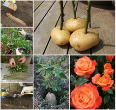 How to grow rose cuttings in potatoes!