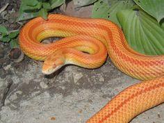 Amelanistic Stripe Corn Snake.  Looks like my female Corn Snake. (Lucky) <3