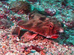 Red Lipped Batfish (Ogcocephalus Porrectus) in Costa Rica.  by Gerard Legendre
