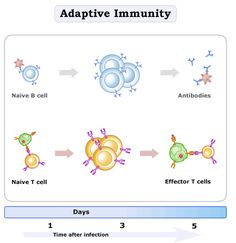 The innate and adaptive immune systems