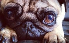 I want to get a pug for Jeff