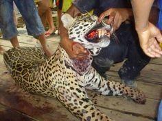 PORTAL DE ITACARAMBI: Onça ataca e mata homem no Pará
