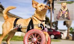 Meet the disabled dog who uses a pink WHEELCHAIR to go for walks http://dailym.ai/1faeqIN