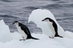 Chinstraps on Ice by Barry Chapman on 500px