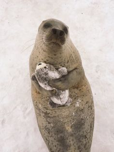 Seal cuddling a plush seal http://ift.tt/2mzGzyw