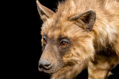 Close up of a representative of the hyena kind at the Ark Encounter