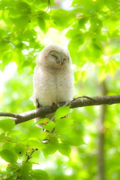 Snowy Owl- omg- make the cuteness stop! eeeeee!!! (i don't know if i WANT an owl.....maybe i do...)