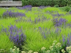 Autumn Moor Grass (Sesleria autumnalis) with Salvia. Potters Fields Park, London design by Piet Oudolf: